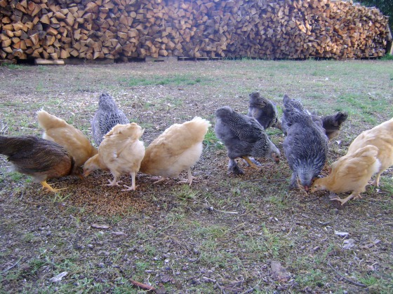 The Chickens Taste Freedom - finddailyjoy.com